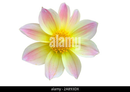 Dahlia flower heads. Yellow with pink and lilac dahlia. Flowers on a white background for design. - Stock Photo