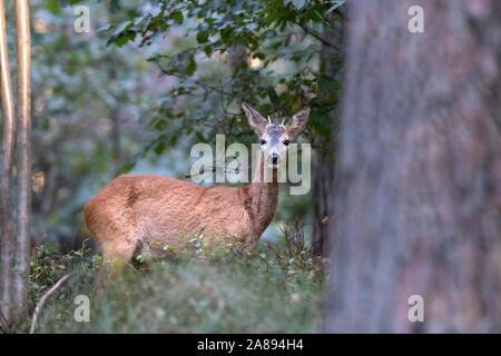 Reh im Wald - Stock Photo