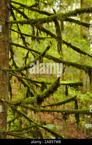 Moss on tree in Windsbergschlucht with waterfall, near St. Blasien,  autumn, Black Forest, Germany - Stock Photo