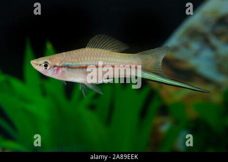 Xiphophorus helleri GREEN,Schwertraeger,Swordtail - Stock Photo