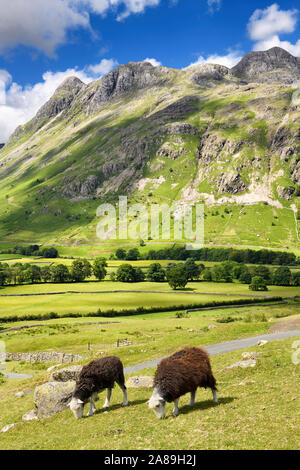 Two Herdwick sheep grazing in Great Langdale valley under Pike of Stickle Loft Crag Thorn Crag and Harrison Stickle peaks Lake District England - Stock Photo