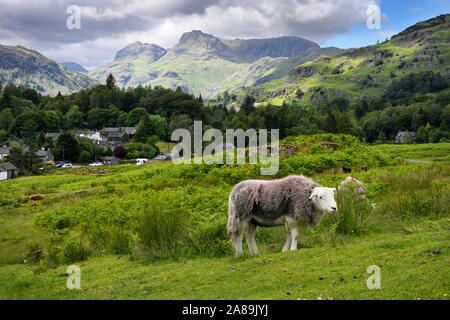 Elterwater in Langdale valley with Herdwick sheep and distant Loft and Thorn Crag, Harrison Stickle and Pavey Ark peaks Lake District England - Stock Photo