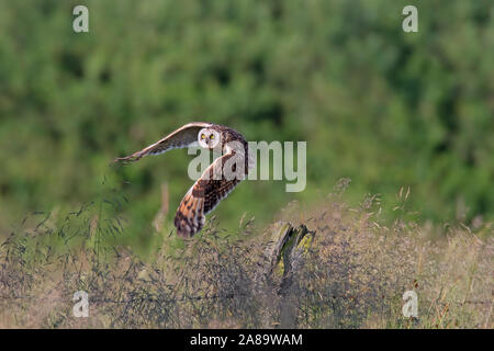 Short-eared owl (Asio flammeus / Asio accipitrinus) taking off from fence post along field - Stock Photo
