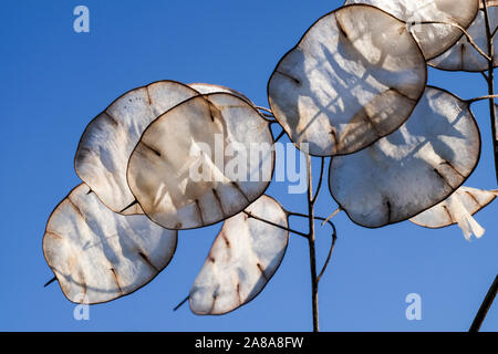 Silvery discs of 'honesty' seed pods, lunaria annua, against a blue summer sky - Stock Photo