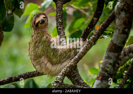 Brown throated three toed sloth image taken in Panamas rain forest