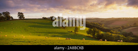 High angle view of sheep grazing in a field, Bickleigh, Mid Devon, Devon, England - Stock Photo