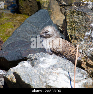 A beautiful seagull seabird of family Laridae in sub-order Lari  young  brown speckled newly hatched chick is standing on basalt rocks on a cold day. - Stock Photo