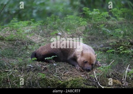 Female Bush Dog (Speothos venaticus)