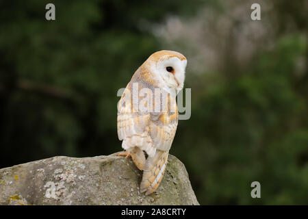 Barn Owl (Tyto Alba) sitting on a large rock.  Taken in the mid-Wales countryside UK. - Stock Photo