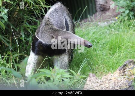 Male Giant Anteater, Bubbles (Myrmecophaga tridactyla) - Stock Photo