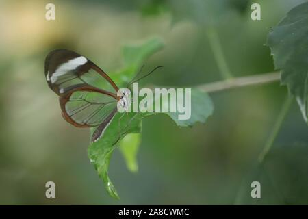 Glass Winged Butterfly (Greta oto) - Stock Photo