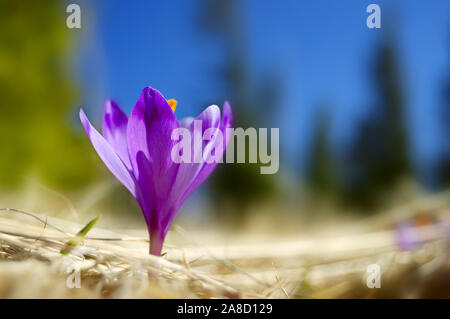 The first flowers - Crocuses. Blossom, as soon as snow descends. The picture is made in mountains Carpathians, Ukraine. Spring. - Stock Photo