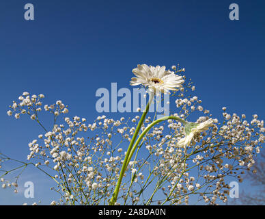 white gerbera daisy flowers and gypsophila paniculata, baby's breath flowers with bright blue sky background - Stock Photo