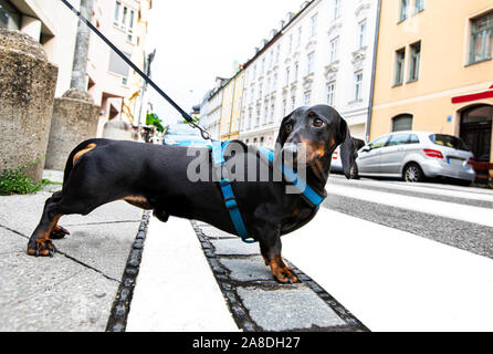 dachshund or sausage  dog waiting for owner to cross the street over crossing walk with leash, - Stock Photo