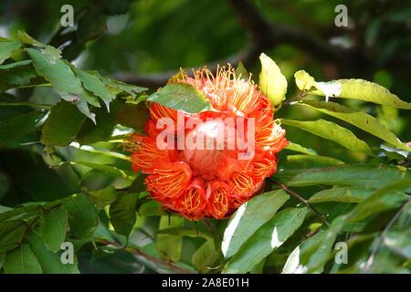 Peradeniya Botanical Gardens, Kandy, Central Province, Sri Lanka - Stock Photo