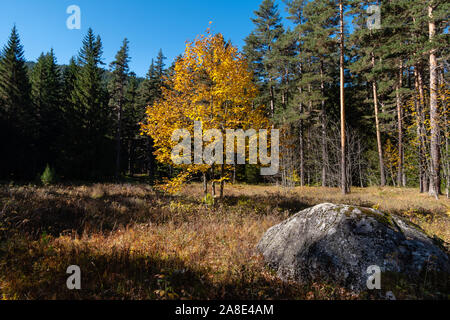 Autumn landscape, a lonely tree with yellow leaves on a meadow with dry grass, in the foreground a large stone, on background of a coniferous forest. - Stock Photo