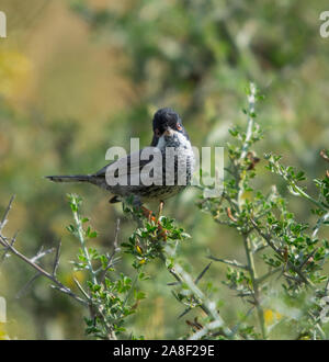 Male Cyprus Warbler (Sylvia melanothorax) in a small bush on the Island of Cyprus. - Stock Photo