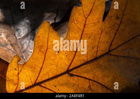 Sunlight shining through fallen autumn leaf of common oak / pedunculate oak / European oak / English oak (Quercus robur) on the forest floor - Stock Photo