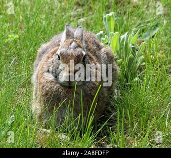 Close-up of Eastern cottontail rabbit (Sylvilagus floridanus) - Stock Photo