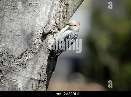 A female red-bellied woodpecker (Melanerpes carolinus) perching on the trunk of a maple tree in Spring - Stock Photo