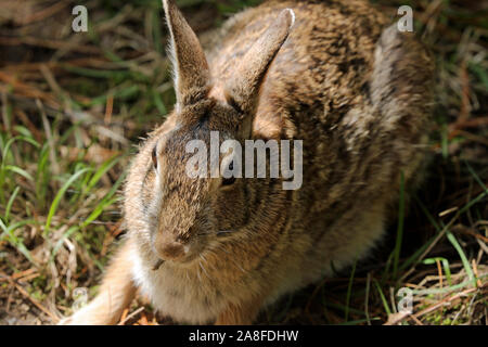Close-up of an Eastern cottontail rabbit (Sylvilagus floridanus) eating a twig - Stock Photo