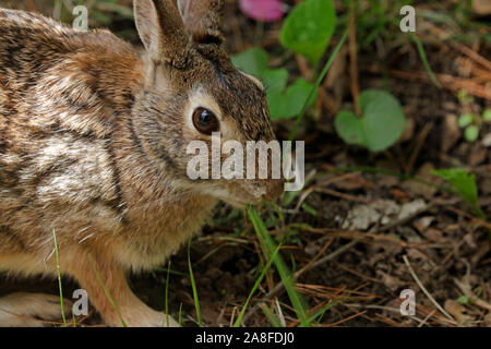 Close-up of an Eastern cottontail rabbit (Sylvilagus floridanus) eating a blade of grass - Stock Photo