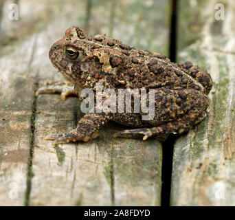 Close-up side view of an adult Fowler's toad (Anaxyrus fowleri) in Spring - Stock Photo