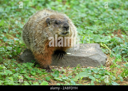 Groundhog (Marmota monax) with visible incisors sitting on a rock during a New England Spring - Stock Photo