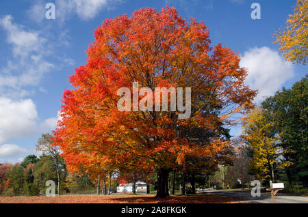 Our favorite Maple tree on Sligo road in full fall color, Yamouth, Maine, USA - Stock Photo