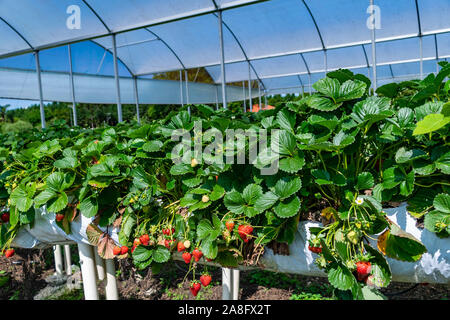 Organic Strawberry agricultural Greenhouse with hydroponic shelving system - Stock Photo