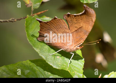 A question mark butterfly perched on a leaf at Crowder Park in Apex, North Carolina. Underside of wing shown with tiny white question mark visible. - Stock Photo
