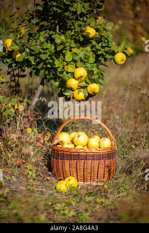 Still life autumn photo of freshly picked yellow quinces in a basket under quince tree - Stock Photo