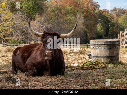 Close up of Red Devon or Ruby Red cow lying down in field and staring towards the viewer - Stock Photo