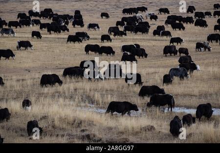 Beijing, China. 1st Nov, 2019. Photo taken on Nov. 1, 2019 shows yaks graze at a pasture in Shiqu County, southwest China's Sichuan Province. Credit: Jiang Hongjing/Xinhua/Alamy Live News - Stock Photo