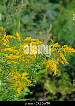 Blooming goldenrod, solidago - Stock Photo