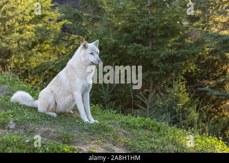 Arctic wolf standing in the forest in Canada, portrait - Stock Photo
