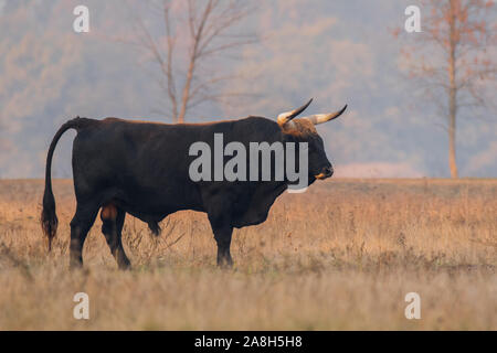 Heck cattle (Bos primigenius f. taurus), bull in a pasture in the late evening, Attempt to breed back the extinct aurochs (Bos primigenius), Hungary - Stock Photo
