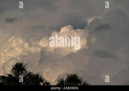 White Heron soaring in a cloudy sky over palm trees with a sun reflection on the clouds. - Stock Photo