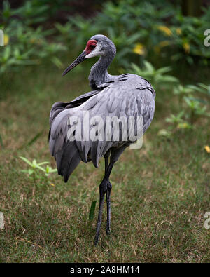 Sandhill Crane bird standing tall with a nice foliage background enjoying its surrounding and environment while exposing its body, wings, head, long n - Stock Photo