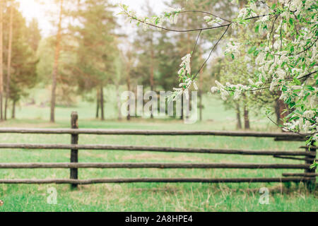 Nature in summer, fence. Beautiful branches with white cherry blossoms in focus. Background for copy space - Stock Photo