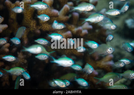 Small Blue-green damselfish, Chromis viridis, hover near a protective coral on a reef in Indonesia. Small fish need places to hide from predators.