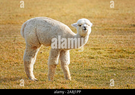 Young Suri Alpacas frolic in a field near Bend, Oregon. Suri Alpacas are raised for their silky like wool, used for kniting garments. - Stock Photo
