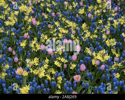 Tulips, muscari and daffodils mix - Stock Photo