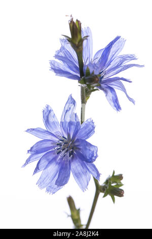 medicinal plant from my garden: Cichorium intybus (Common chicory) with 2 open blossoms isolated on white background - Stock Photo