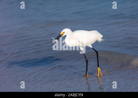 Snowy Egret (Egretta thula) is standing in the water and caught a fish, Sanibel Island, Florida, USA - Stock Photo