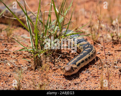 Great Basin Gopher Snake, Snow Canyon State Park, Saint George, Utah. - Stock Photo