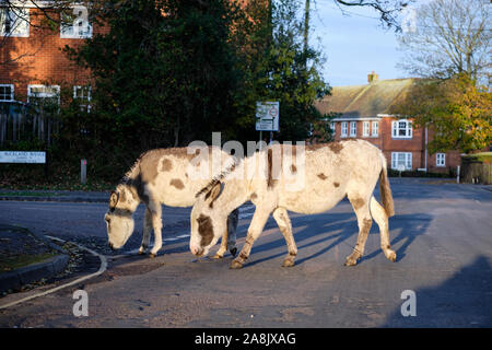 Donkeys walking on street of Brockenhurst, part of New Forest National Park. Under early morning sunlight in middle of road - Stock Photo