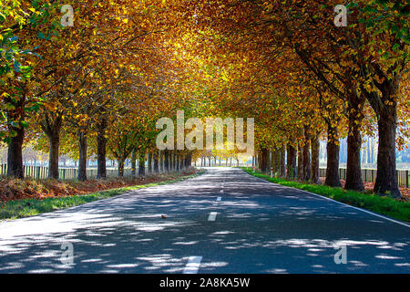 Driving the highway through an avenue of oak trees  with stunning vibrant colours in autumn Stock Photo