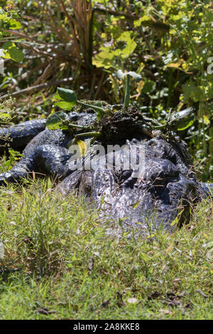 American alligator camouflaging in the grass - Stock Photo