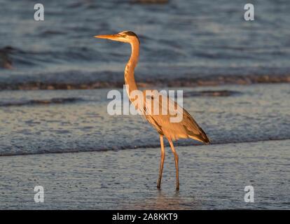 Great Blue Heron (Ardea herodias) on the Evening fishing at the East End beach of Galveston, Texas - Stock Photo